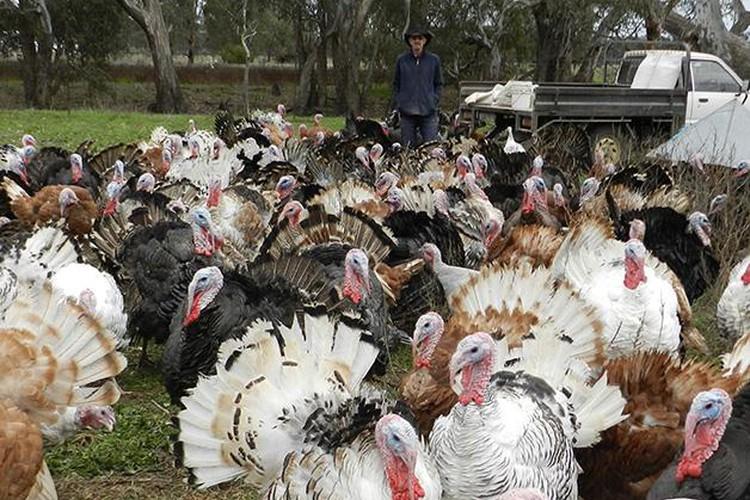 Deutscher's Turkey Farm at Dadswell's Bridge, Victoria