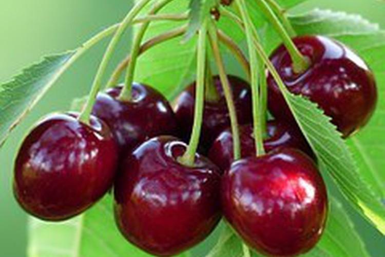 Tasmania Cherries Farm in Campania, Tasmania