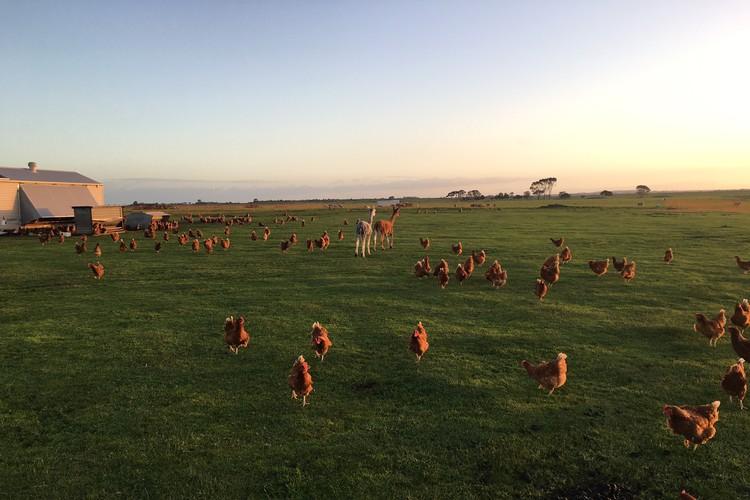 Caravan Egg Farm  at Dundonnell, Victoria